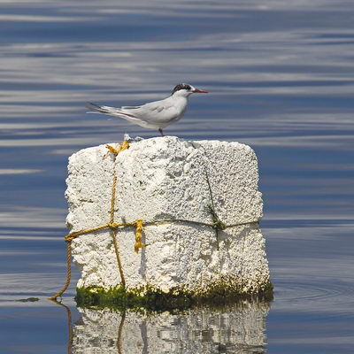 A tern perched on a polystyrene fishing float
