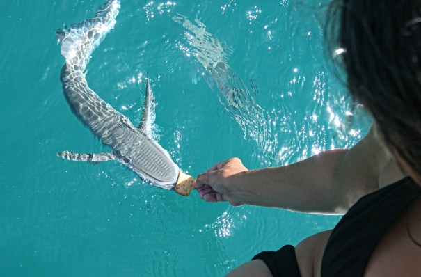 A remora takes a tidbit from Paula