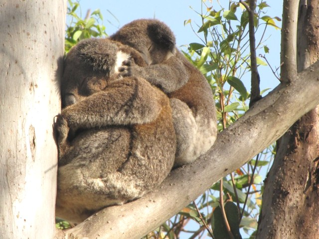 koala_snuggles_adjusted
