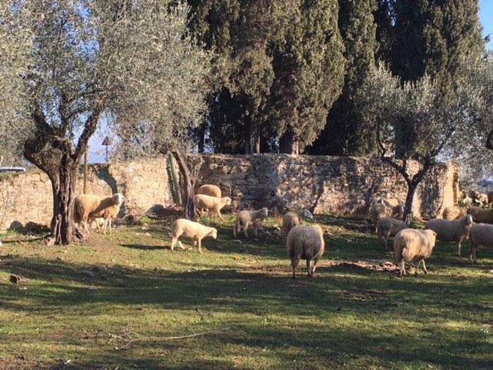 Lupi assaltano gregge e uccidono o feriscono 70 ovini. Proteste di Coldiretti