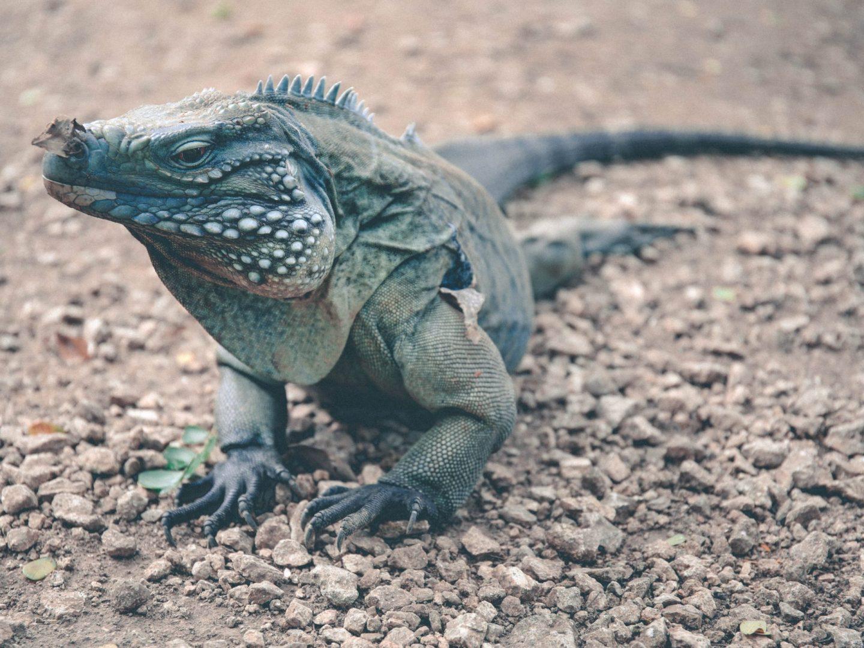 Cayman Islands Botanical Gardens Blue Iguana