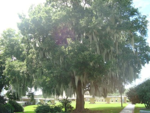 Beautiful Tree in Lakeland, FL Florida Southern College