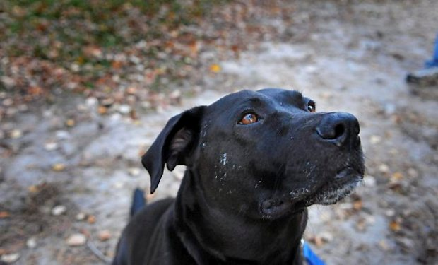 Barbie Jo is thought to be a 5-year-old black lab-pit bull mix. (Pioneer Press: Ginger Pinson)