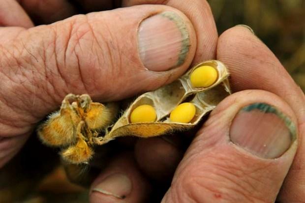 Glen Dubbels, 85, splits open a maturing soybean pod last week at his farm in Castle Rock Township.