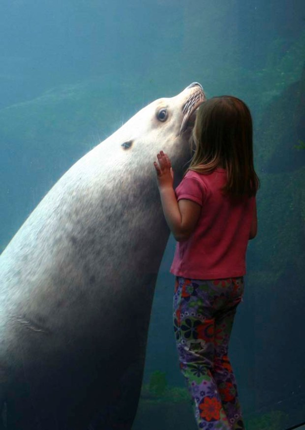 The Alaska SeaLife Center in Seward allows little ones to get an up-close view of sea lions and other creatures. Illustrates ALASKA-KIDS (category t), by Juliet Eilperin (c) 2012, The Washington Post. Moved Tuesday, Aug. 7, 2012. (MUST CREDIT: Courtesy of Alaska SeaLife Center )
