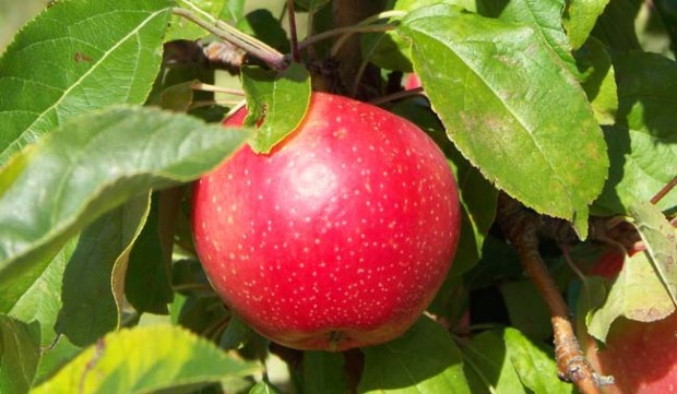 SweeTango apples at Pepin Heights Orchards