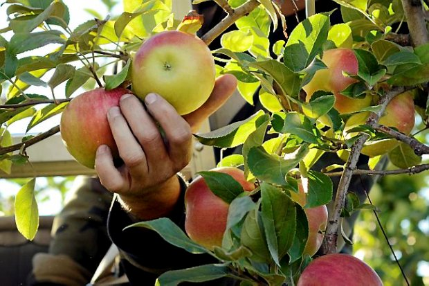 An apple picker picks new varieties of apple at the Cornell University Fruit and Vegetable Research Farm in Geneva, N.Y., Monday, Sept. 23, 2013. (AP Photo/Heather Ainsworth)