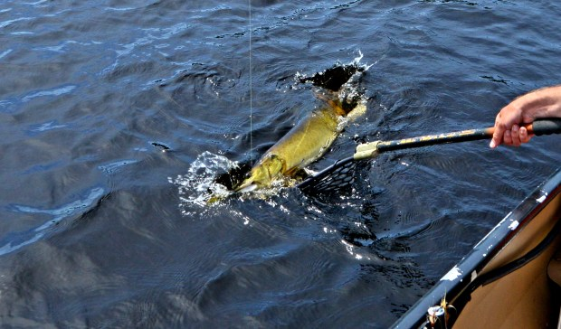 Outdoors editor Dave Orrick attempts tonet a muskie on Day Lake in the Chequamegon National Forest in Ashand County, Wis., Friday, June 17, 2016. Day is among 20 Wisconsin lakes with high-density muskie populations, allowing for action and harvest. Such lakes have a 28-inch minimum, compared to 40 inches and higher on most lakes. (Photo courtesy Nick Orrick)