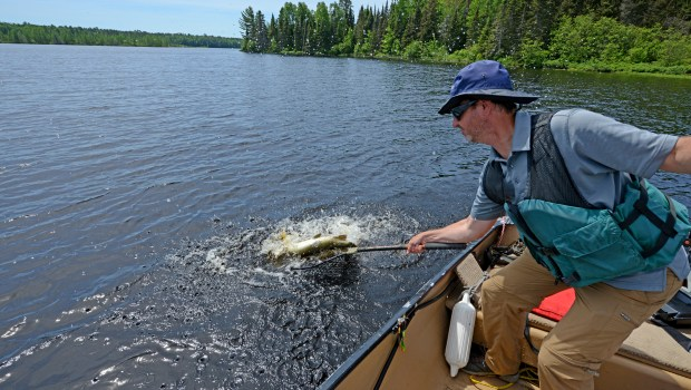 A muskie thrashes as outdoors editor Dave Orrick tries to net the fish on Day Lake in the Chequamegon National Forest in Ashand County, Wis., Friday, June 17, 2016. Day is among 20 Wisconsin lakes with high-density muskie populations, allowing for action and harvest. Such lakes have a 28-inch minimum, compared to 40 inches and higher on most lakes. (Photo courtesy Nick Orrick)
