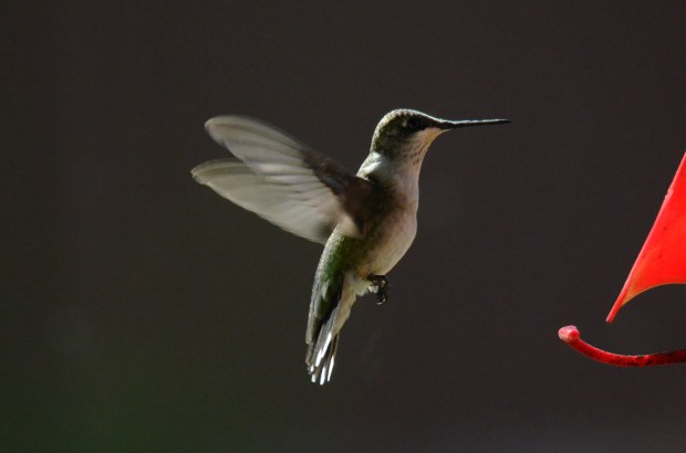 """See world .. JIM SHUMAKER of New Richmond, Wis., writes: """"Hope you can pick out a few of these hummingbirds for the BB. They are fun to watch. Hope your readers enjoy whatever you pick out!"""" ... BULLETIN BOARD SAYS: Oh, they'll enjoy these! And we will let all of you know that Mr. Shumaker sent 11 hummingbird pictures — too many to be properly displayed on this page of newsprint. ALL of them can be found (and enjoyed) online, at tinyurl.com/B-Board-daily, where you will find every day's Bulletin Board."""