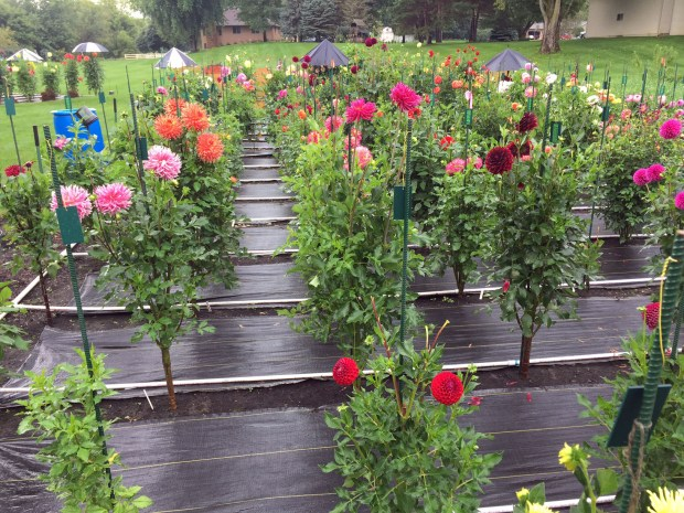 Some at the dahlias grown by Kyle Cassidy at Creekside Dahlias in Ham Lake are shown in a photo taken Saturday, Aug. 27, 2016. Cassidy started growing dahlias on a whim about 10 years ago. Today, he estimates he has 550 varieties in four gardens around his Ham Lake home. (Pioneer Press: Will Ashenmacher)