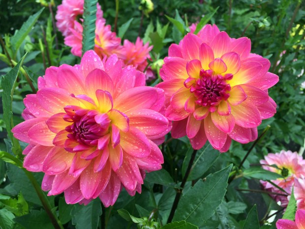 Ken's Rarity is one of the dahlias grown by Kyle Cassidy at Creekside Dahlias in Ham Lake, is shown in a photo taken Saturday, Aug. 27, 2016. Cassidy started growing dahlias on a whim about 10 years ago. Today, he estimates he has 550 varieties in four gardens around his Ham Lake home. (Pioneer Press: Will Ashenmacher)