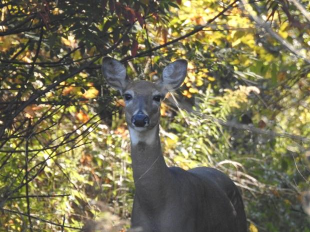 161004bbcut-deer1
