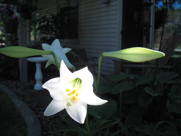 "Our theater of seasons ... Writes LOLA: ""As I do every year, I brought an Easter lily home from church on Easter Sunday. When it finished blooming, it went downstairs to the laundry room until the leaves turned yellow and it was warm enough to plant outside. I cut it down to about 6 inches, planted it and now it's blooming again. My beautiful late bloomer!"""