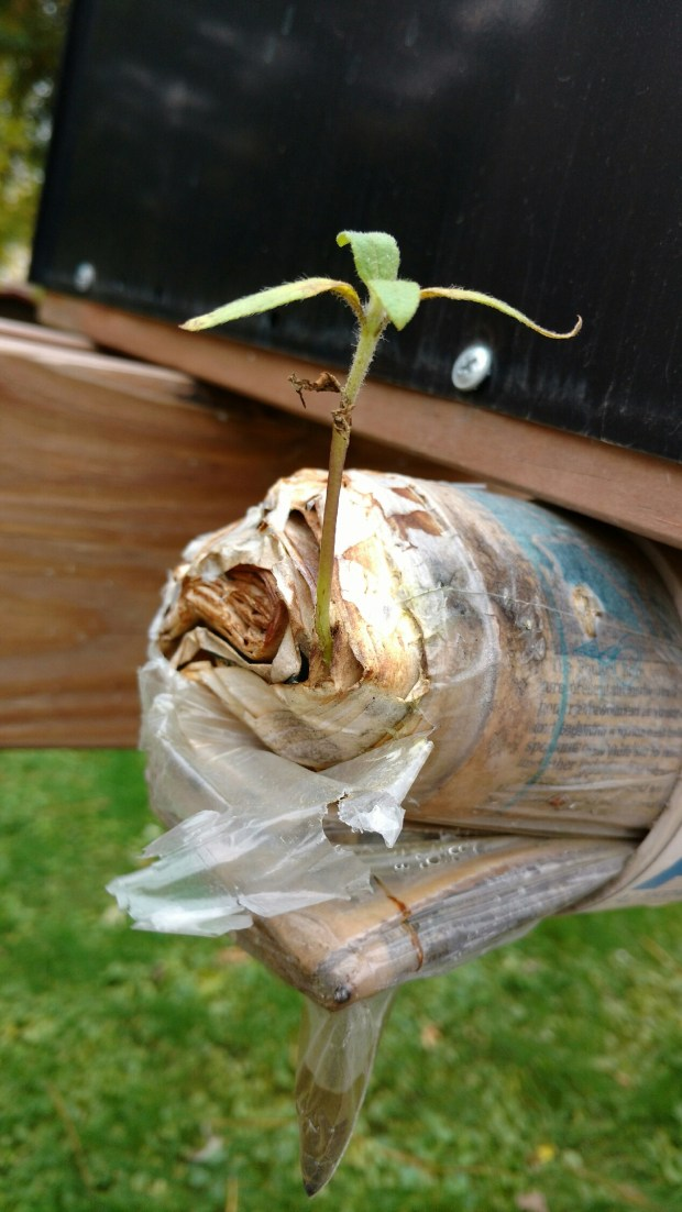 """Keeping your eyes open ... DEB PETERSON of Eagan reports (10/15/2016): """"On our walk this morning, we noticed this little plant growing out of a ... newspaper!"""" BULLETIN BOARD SAYS: We withhold comment about which local newspaper would offer the most fertile growing medium."""