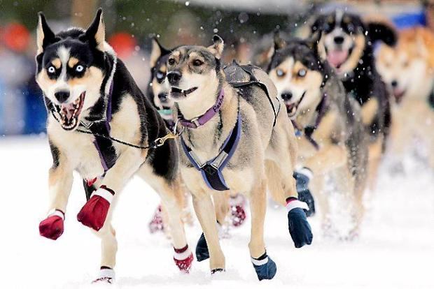 Sled dogs driven by musher Becky Johnson-Himes of Luther, Mich. explode on to the race course at the start of the 2006 John Beargrease Sled Dog Marathon in Duluth, Minn. (Duluth News Tribune: Clint Austin)