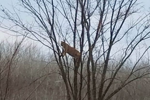A large cat perches in a tree near Nashwauk in northern Minnesota Monday, Nov. 8, 2016. The animal chased a deer and got into a brief altercation with another large cat, while Jordan Bowen, 16, of Rush City, Minn., was deer hunting. (Photo courtesy Jordan Bowen)