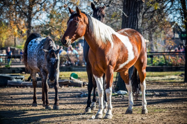 Horses from the St. Paul Police Department's mounted division enjoy the weather from their pen Saturday, Nov. 12, 2016, at the Como Zoo in St. Paul. (Courtesy of Jackie Scherer Photography)