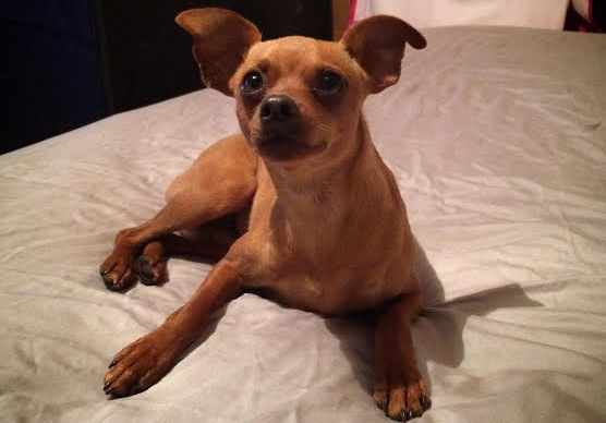 """Shelly Byzewski said that when her dog, a 3-year-old miniature pinscher named Ducky Momo, disappeared last year, """"I suspected (Elizabeth Osterbauer) immediately."""" (Courtesy of Shelly Bysewski)"""