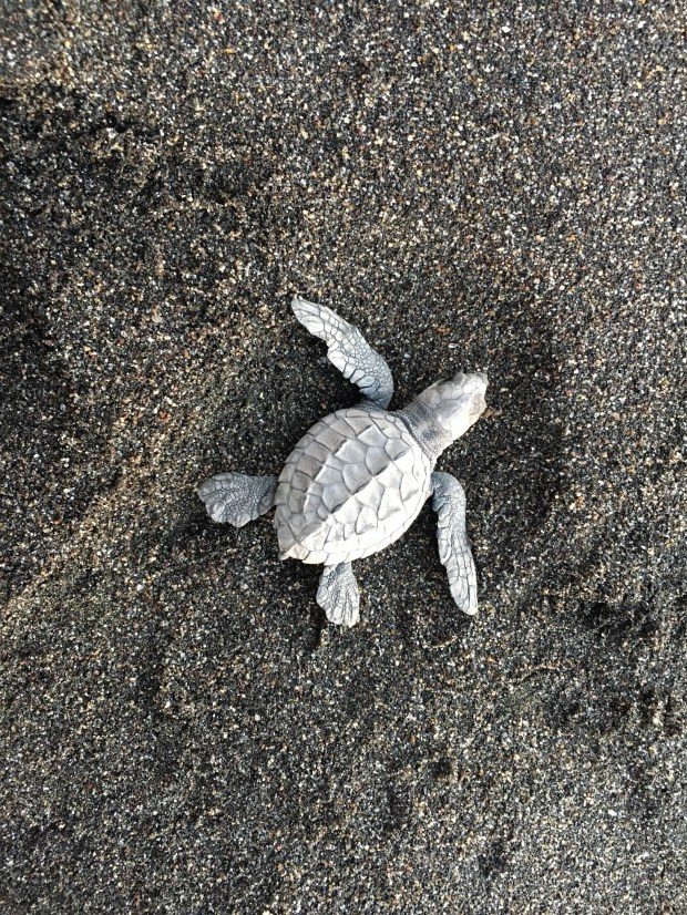 A baby leatherback turtle makes its way to the ocean. (Courtesy of Susan Maas)