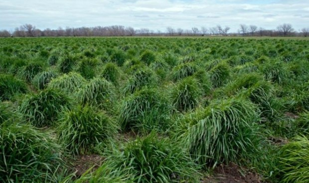 In this undated photo provided by The Land Institute of Salina, Kan., strands of intermediate wheatgrass, trademarked as Kernza, grow on a 72-acre plot owned by The Land Institute. On Tuesday, March 7, 2017, General Mills announced partnerships with The Land Institute and the University of Minnesota to help commercialize Kernza, a wild relative of wheat, and to incorporate the grain into cereals and snacks under its Cascadian Farm organic brand. (The Land Institute via AP)