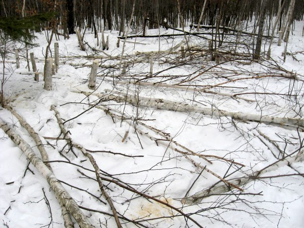 Birches cut by people to sell on eBay. (Courtesy of Washburn County Sheriff via Forum News Service)