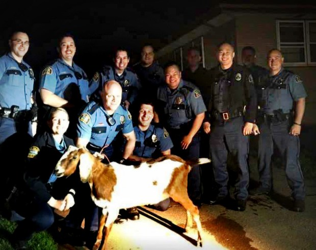 "In a photo posted to the St. Paul Police Department Facebook page, St. Paul police officers are photographed with a goat that had been stolen from Indian Mounds Regional Park early Friday, May 5, 2017. The goat -- ""Gordy"" -- was found in a vehicle that had been abandoned after being pursued by police. Officers gave chase and were able to apprehend two 29-year-old males who would later be arrested for gross misdemeanor theft and booked into the Ramsey County Law Enforcement Center. Gordy is one of 30 goats released into Indian Mounds Regional Park earlier this week in an effort to reduce the spread of invasive species (Courtesy of the St. Paul Police Department)"