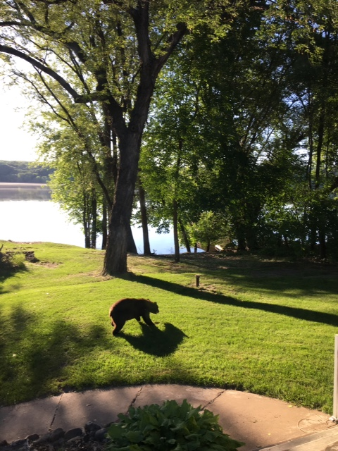 A young black bear wandered into Bayport on Tuesday, June 6, 2017. (Courtesy of Jon Legato)