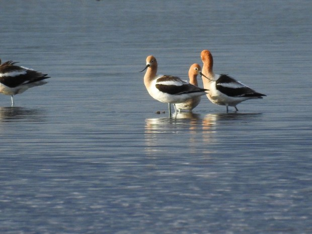 Ben Douglas and Peter Nichols went to see American Avocets, which has only been recorded in the Washington County three times, near Forest Lake. (Photo courtesy of Ben Douglas)