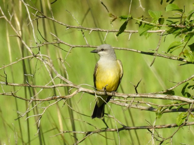 Ben Douglas and Peter Nichols got to see the Western Kingbirds in Afton State Park, the only place they can be spotted in the county this year. (Photo courtesy of Ben Douglas)