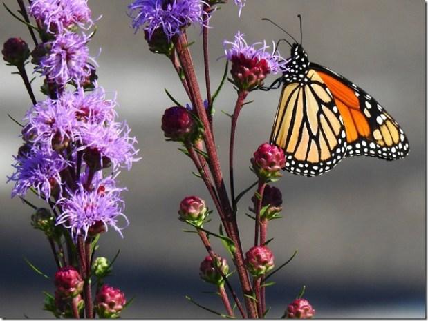 170821bbcut-monarch1
