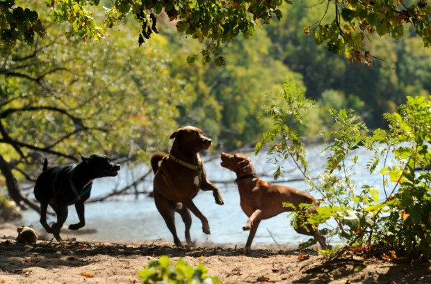 Dogs are free to romp and play at Meeker Island Dog Park on the Mississippi River at Meeker Island Dog Park on Saturday, Sept. 9, 2017. From left, Greg, Kevi and Daneli. (Ginger Pinson / Pioneer Press)