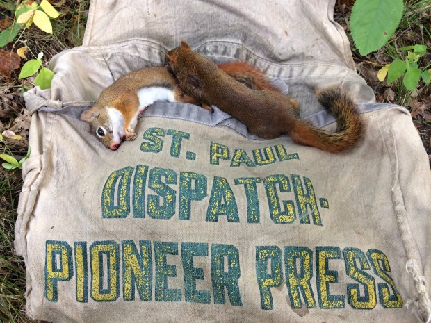 A pair of dead red squirrels lay atop an old St. Paul Dispatch and Pioneer Press newspaper-carrier bag used by report Dave Orrick Saturday, Sept. 16, 2017, opening day for squirrel hunting. (Dave Orrick / Pioneer Press)