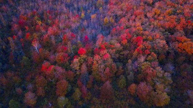 The fall colors were near their peak Saturday, Sept. 30, 2017, at Oberg Mountain near Lutsen on Minnesota's North Shore. (Samantha Erkkila / Forum News Service)