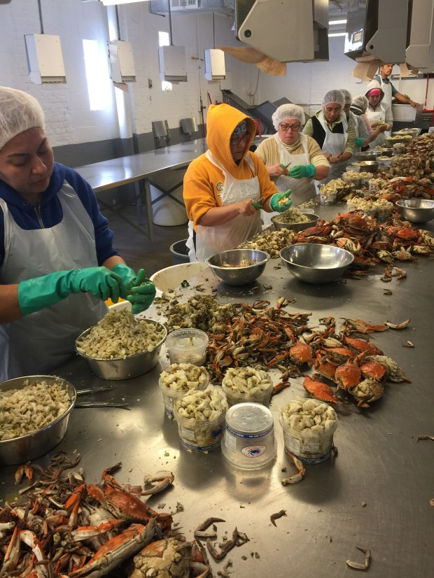 Skilled crab pickers remove the meat from bushel basket-sized loads of blue crab. (William Gurstelle)