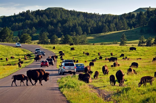 Bison roam Custer State Park. (Courtesy of South Dakota Department of Tourism)