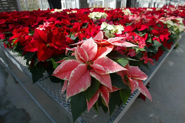 FILE - This Wednesday, Nov. 3, 2003 file photo shows hundreds of experimental poinsettias in colors of pink, red, white and even polka dot patterns, fill the University of Maryland Research Greenhouse Complex in College Park, Md. Pointsettias are not nearly as poisonous as a persistent myth says. Mild rashes from touching the plants or nausea from chewing or eating the leaves may occur but they aren't deadly, for humans or their pets. (AP Photo/Matt Houston)