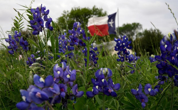 The Texas flag flies near a field of Bluebonnets near Navasota, Texas. (AP Photo/David J. Phillip, File)