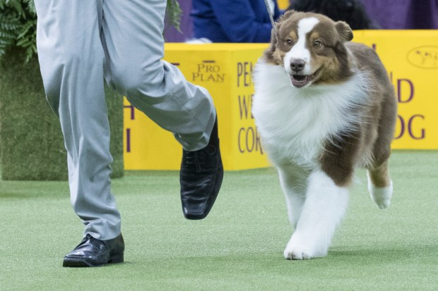 In this Monday, Feb. 12, 2018, photo, Nick, an Australian shepherd, competes during the herding group competition during the 142nd Westminster Kennel Club Dog Show, at Madison Square Garden in New York. American Kennel Club rankings released in 2018 show Aussies have gained in popularity in the last decade. (AP Photo/Mary Altaffer)