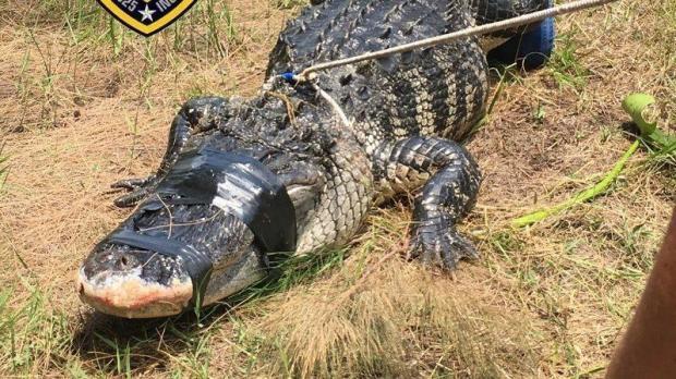 davie alligator