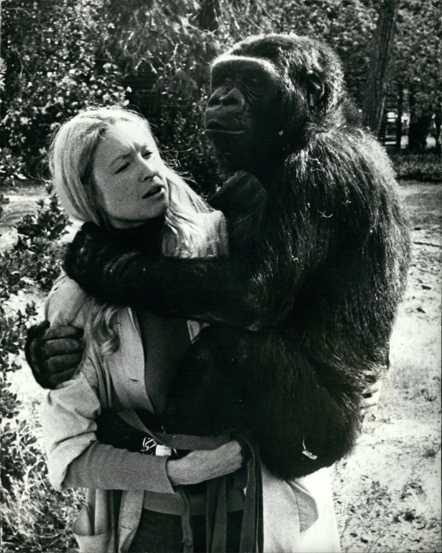 "Francine ""Penny"" Patterson and ""Koko"" on Feb. 24, 1972 on the grounds of Stanford University in California during a break between lessons. Koko, whose extraordinary ability to communicate with humans and aptitude with American Sign Language helped show the world the emotional depth and intelligence of animals, died in her sleep Tuesday morning, according to the Gorilla Foundation. (Keystone Pictures USA/ZUMAPRESS.com)"