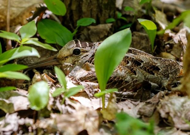 UMD Woodcock study examines game bird's habitat needs