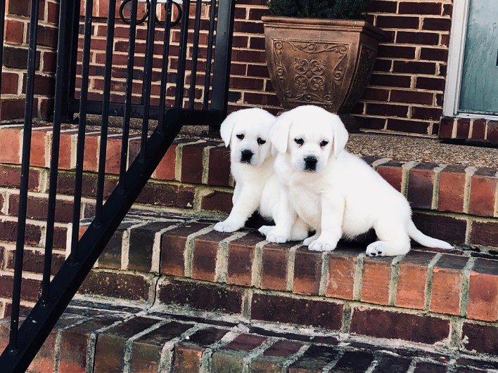Snow White Lab Breeders & Polar Bear Labs For Sale at Twin