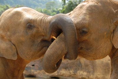 two views of elephants kissing
