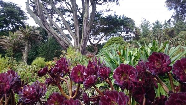 scilly-tresco-garden-aeonium