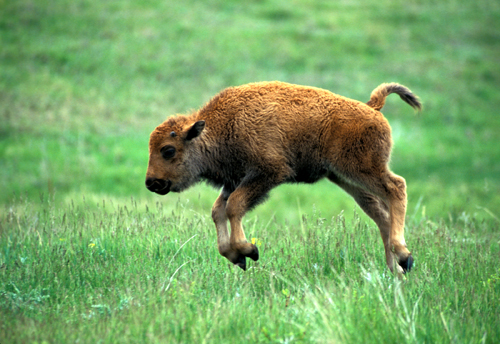 Yellowstone tourists cause death to baby Bison by caring about animals too much, basically
