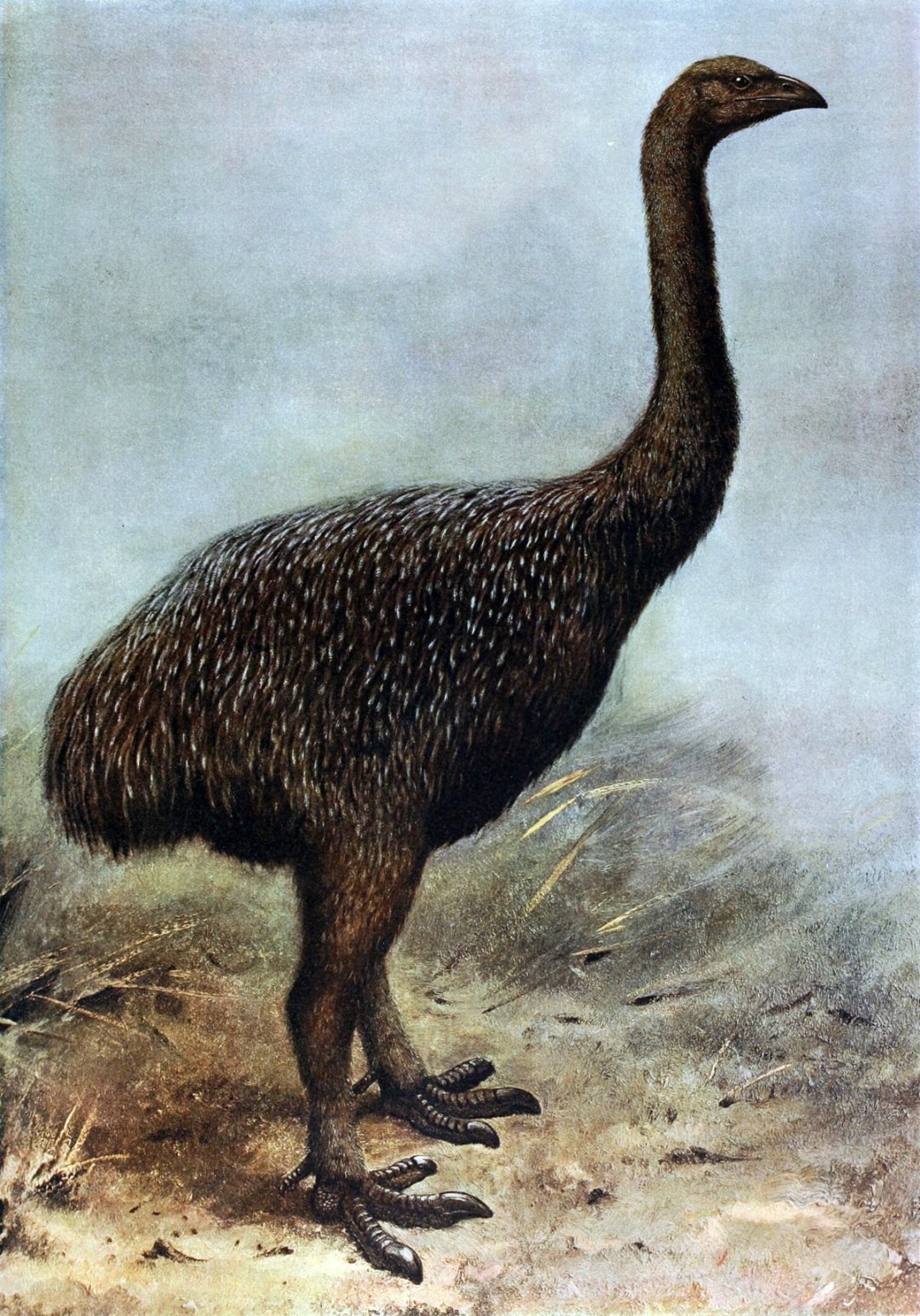 the-moa-were-a-giant-flightless-bird-from-new-zealand-that-reached-12-feet-tall-and-weighed-more-than-500-pounds-they-died-out-because-of-over-hunting-by-the-maori-by-1400-and-their-closest-relatives-have-been-found-to-be-the-flighted-south-american-.jpg