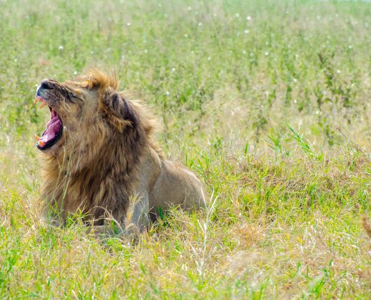 Male lion yawning in Ngorongoro Crater