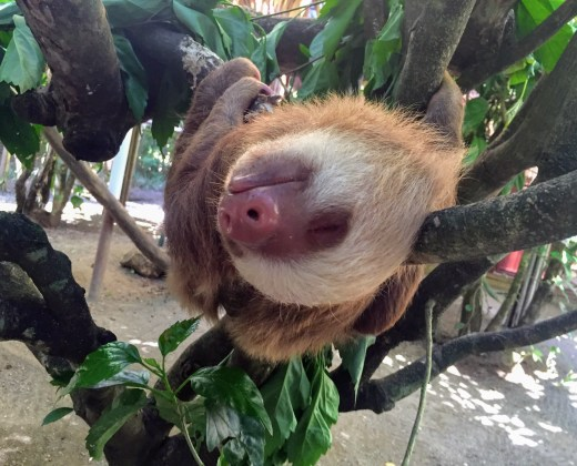SLoth SLeeping at the Jaguar Rescue Center near Manzanillo, Costa Rica
