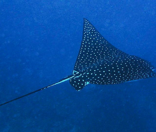 Eagle Rays In Bunaken